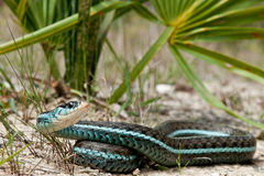 Bluestripe Garter Snake. A Bluestripe Garter Snake in its natural habitat Royalty Free Stock Image