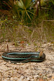 Bluestripe Garter Snake Stock Photos
