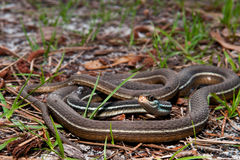 Bluestripe Ribbon Snake. A Bluestripe Ribbon Snake coiled on the ground Stock Images