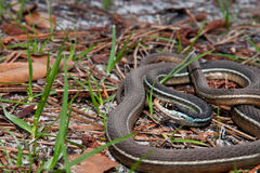 Bluestripe Ribbon Snake. A Bluestripe Ribbon Snake coiled on the ground Stock Photo