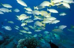 Bluestripe Rotbarsch und hawaiischer Sergeant Fisch Stockfoto