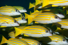 Bluestripe snapper shoal Stock Photography