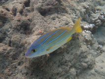 Bluestripe Snapper (ta'ape) Royalty Free Stock Photos