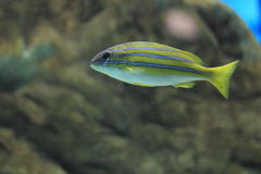 Bluestripe snapper Stock Images