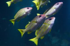 The bluestripe snappers Stock Photos