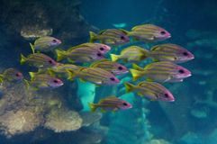 The bluestripe snappers Stock Photo