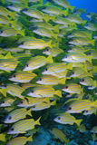 Bluestripe Snappers. In the tropical sea of the maldives Stock Photos