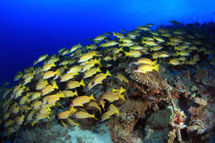 Bluestripe snappers. And tropical coral reef Stock Photography