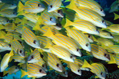 Bluestripe snappers. In the coral reef Stock Images
