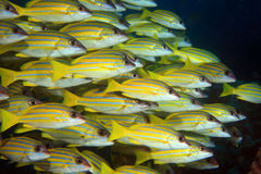 Bluestripe snappers Stock Photos