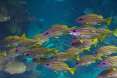 Bluestripe Snappers School. The bluestripe snapper, Lutjanus kasmira, (also known as the bluestripe sea perch) is a common species of marine fish of the snapper Royalty Free Stock Photos