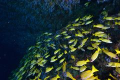 Bluestripe Snappers Stock Image