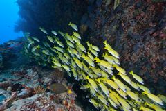 Bluestripe Snappers Stock Photography