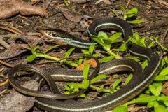 Bluestripe Tasiemkowy wąż Obraz Stock