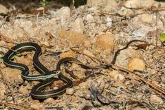 Bluestripe Tasiemkowy wąż Zdjęcia Stock