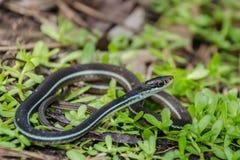 Bluestripe Tasiemkowy wąż Zdjęcie Royalty Free