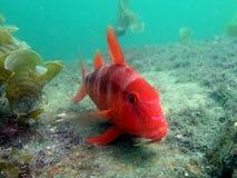 Bluestriped Goatfish Royalty Free Stock Image