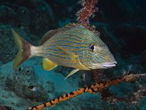 Bluestriped grunt (Haemulon sciurus) Stock Photography