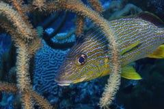 Bluestriped Grunt (Haemulon sciurus). Hiding in Sea Rod Royalty Free Stock Image
