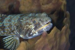 bluestriped lizardfish Obraz Royalty Free