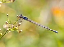 bluet北cyathigerum的enallagma 免版税图库摄影