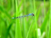bluet蜻蜓 免版税库存照片