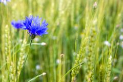 Bluet Royalty Free Stock Photos