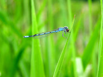 Bluet  Damselfly Royalty Free Stock Photos