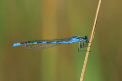 Bluet damselfly Royaltyfri Bild