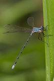 Bluet damselfly on cattail leaf Stock Photo