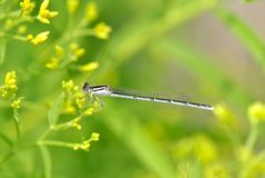 Bluet Damselfly Stock Photos