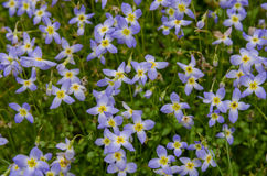 Bluet Flowers Close Up. Tiny purple flowers with yellow centers coat the sides of the mountains in North Carolina royalty free stock photo