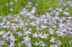 Bluet Flowers in a Group Royalty Free Stock Image