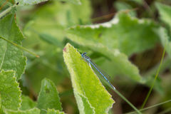 bluetail公用蜻蜓 免版税库存图片