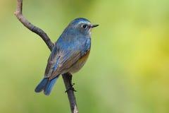 bluetail被侧的红色 库存照片