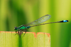 Bluetail damselfly Royalty Free Stock Photography