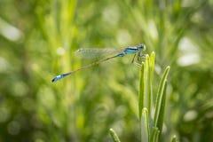 A bluetail damselfly Stock Photos