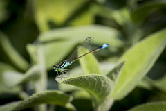 A bluetail damselfly Royalty Free Stock Photos