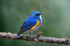 Bluetail de l'Himalaya (mâle) sur la branche Photos libres de droits
