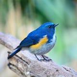 Bluetail Himalaia masculino Fotografia de Stock Royalty Free