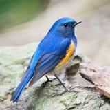 Bluetail Himalayan masculino Foto de archivo