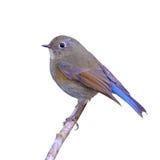 Bluetail himalayano fotografia stock