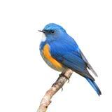 Bluetail himalayano immagini stock