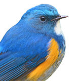 Bluetail himalayano fotografia stock libera da diritti