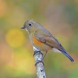 Bluetail himalayano immagini stock libere da diritti