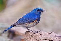 Bluetail himalayano maschio fotografie stock libere da diritti