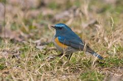 Bluetail Rouge-flanqué de l'Himalaya, Himalaya Blauwstaart, Tarsiger r photo libre de droits