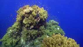 Bluetail trunkfish Ostracion cyanurus and coral fish in Red sea. Egypt stock footage