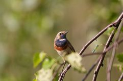 Bluethroat Fotografia Stock