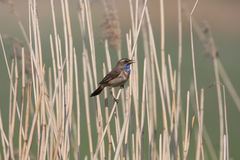 Bluethroat. Singing his best song Stock Photo